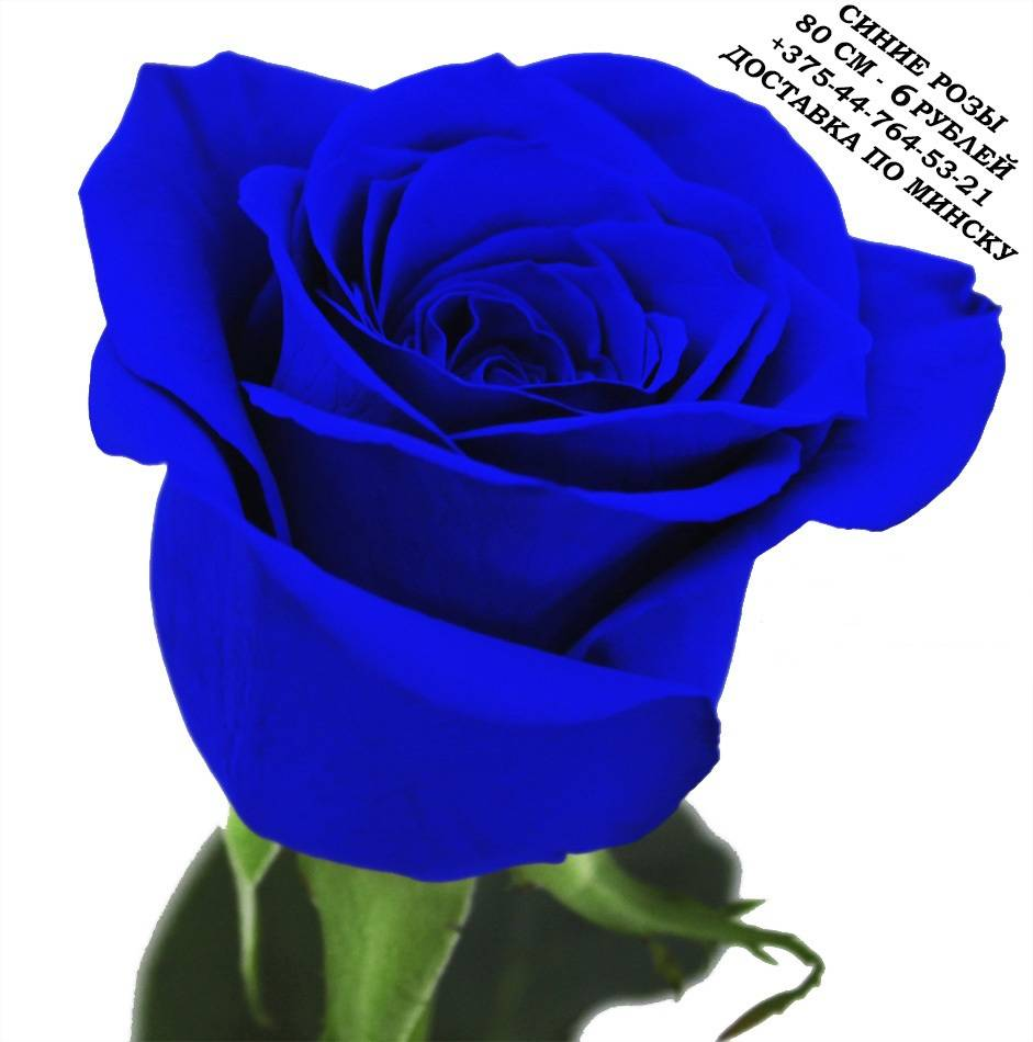 Синие розы,  Чёрные розы, Голубые розы, Бирюзовые розы, Радужые розы